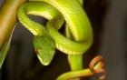 Bộ Y tế hướng dẫn cách xua đuổi rắn lục đuôi đỏ hiệu quả và cách điều trị