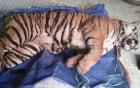 Hổ đông lạnh 140kg được bán với giá 700 triệu đồng