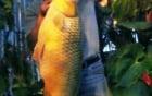 Câu được cá chép vàng