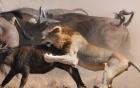 Đàn sư tử xơi tái cả hai mẹ con trâu rừng