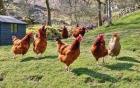 Vụ 1.250 con gà hộ nghèo đi