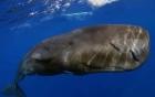 Sửng sốt cá sủ vàng đại gia Hải Phòng trả 2,5 tỉ đồng không mua được 5