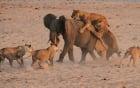 Voi con đơn độc đánh bại 14 con sư tử đói mồi