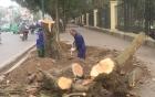 Thanh tra Hà Nội chỉ rõ hàng loạt sai phạm vụ chặt 6.700 cây xanh 3
