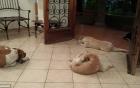 Video: Xúc động khoảnh khắc bầy chó đi lạc tới đưa tang ân nhân