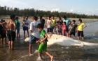 Cá voi khổng lồ nặng gần 2 tấn dạt vào bờ biển Bình Thuận