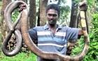 Tóm sống rắn hổ mang khổng lồ trong toilet
