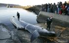 Mùa săn bắt cá voi đẫm máu tại Iceland