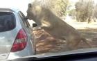 Sư tử bất ngờ tấn công du khách qua cửa sổ ô tô