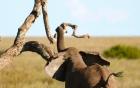 Bị voi dữ rượt đuổi, sư tử hoảng hốt trèo lên cây