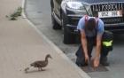 Nhân viên cứu hộ cậy nắp cống giải cứu đàn vịt con