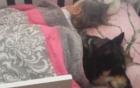 Cún cưng trèo vào cũi, đắp chăn ngủ cạnh bé gái