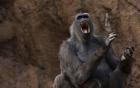 Nghiên cứu mới: Khỉ có khả năng