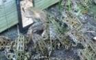Bắt cả trăm con ếch chỉ bằng 1 chiếc smartphone