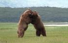 Gấu xám tát tới tấp vào mặt đối phương để giành cá hồi