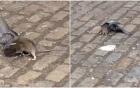 Chim bồ câu chết thảm vì bị chuột tấn công ngay trên phố