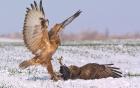 Chim ó hung dữ ra đòn liêp tiếp hạ gục đồng loại trong trận chiến giành mồi