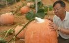 Kỹ thuật chăm sóc để tạo ra những quả bí ngô khổng lồ nặng 1,6 tấn 1