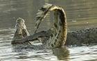 Cận cảnh cá sấu quyết chiến cắn đứt đôi thân đồng loại