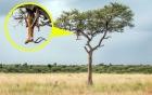 Báo đốm treo xác con mồi trên cây để xẻ thịt dần