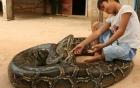 Video: Sửng sốt bé trai 6 tuổi cưỡi trăn Miến Điện