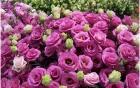 """Ý nghĩa hoa bất tử là biểu tượng của tình yêu """"bất diệt"""