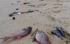 Phát hiện cá chết dạt vào bờ biển Đà Nẵng 4