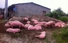 Lợn chết giá siêu rẻ tuồn từ biên giới Trung Quốc về Hà Nội