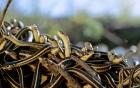 Video rùng mình hàng nghìn con rắn chui ra khỏi hang để giao phối