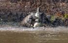 Video: Từ trên cao, báo đốm lao mình xuống sông, tóm cổ cá sấu lôi lên bờ