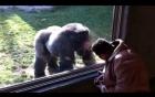 Video: Khỉ đột lưng bạc bất ngờ nhảy song phi, đạp vào mặt người đàn ông