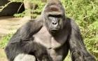 Tranh cãi việc bắn chết khỉ đột cứu bé trai 4 tuổi ở Mỹ
