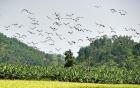 Xuất hiện đàn chim lạ hàng trăm con ở Lào Cai