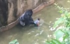 Video mới tiết lộ chú khỉ đột chỉ đang cố bảo vệ đứa trẻ