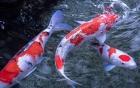 Tên trộm ăn cắp cặp cá Koi hơn 200 triệu chỉ để nấu lẩu