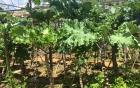 Cải nhập khẩu Kale 80.000 đồng/kg hút khách Việt