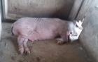 Một giám đốc ở Hà Tĩnh bị lợn nái cắn mất