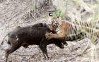 Hổ ra đòn tấn công, lợn rừng thất bại thảm bại