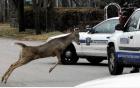 Hươu bị đâm quay lại cạy cửa ô tô, tấn công tài xế
