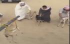 Dân chơi Ả-Rập giải trí với giống chó chạy nhanh nhất thế giới