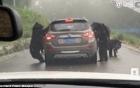 Clip hãi hùng đàn gấu đen bao vây xe ôtô chở du khách