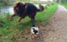 Chó chăn cừu Đức sợ hãi trước chú vịt đanh đá