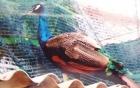 Công an xác nhận sư thầy miền Tây mất trộm 3 chim khổng tước quý hiếm