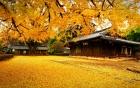 Đến Hàn Quốc ngắm cây Ngân Hạnh