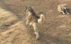 Video: Chó husky bị nhốt chung với bầy sói ở vườn thú Trung Quốc