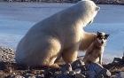 Clip gấu trắng Bắc cực âu yếm, xoa đầu chó nhỏ như thú cưng
