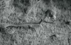 Video: Chuột bật tung người thoát khỏi hàm rắn đuôi chuông