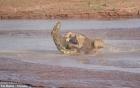 Video: Trận kịch chiến giữa cá sấu khổng lồ và bầy sư tử