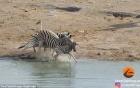 Cảm động ngựa vằn bảo vệ con khi bị dìm xuống nước