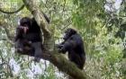 Video: Hy hữu cảnh khỉ mẹ bị đàn tinh tinh con xơi tái